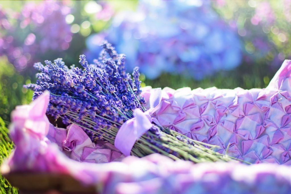 lavande terre bleue